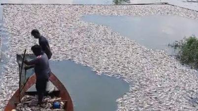আখাউড়ায় পুকুরে বিষ প্রয়োগে মাছ নিধনের অভিযোগ