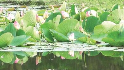 ফুলের চাদরে মুখরিত নবাবগঞ্জের আশুড়ার বিল