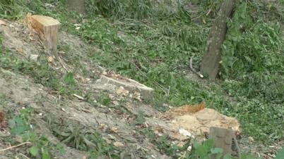 বেনাপোলে সরকারী ৩টি গাছ কেটে নিল প্রভাবশালীরা