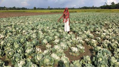 ঝিনাইদহে এক কৃষকের বাঁধা কপির ক্ষেত নষ্ট করছে দুর্বৃত্তরা