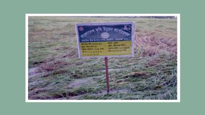 টানা বৃষ্টি ও ঝড়ো হাওয়ায় বোয়ালিয়া বীজ উৎপাদন খামারসহ আমনের ব্যাপক ক্ষতি