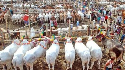 বিপাকে গৌরনদীর কসবা হাটের গরুর ব্যবসায়ীরা