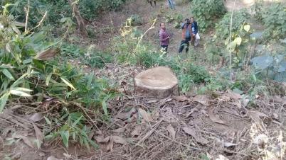 কমলগঞ্জের কামারছড়া বনে চলছে বৃক্ষ নিধন