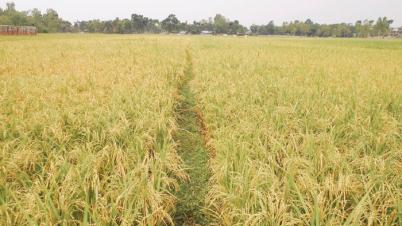 নীলফামারী জেলায় বোরোর বাম্পার ফলন ফসলের মাঠ ও কৃষকের মুখে হাসির ঝিলিক