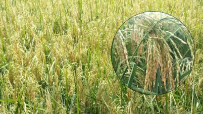 লক্ষ্মীপুরে ধানের বাম্পার ফলনে কৃষকের মুখে হাসি