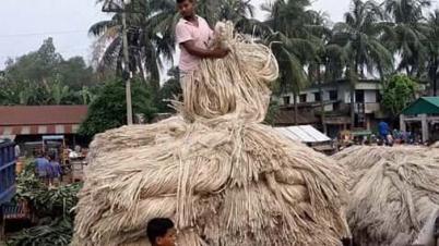 সিরাজগঞ্জে পাটের দাম বেশি থাকায় চাষীদের মুখে হাসি