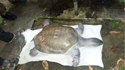 ঠাকুরগাঁওয়ে ৩০ কেজি ওজনের একটি কচ্ছপ উদ্ধার